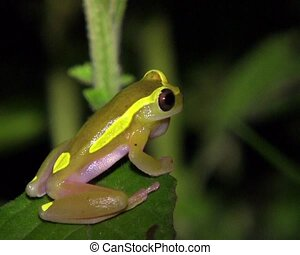 Upper Amazon Treefrog (Dendropsophu - Beside a pond at night...