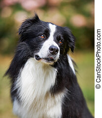 Upper body of black border collie - Purebred border collie...