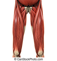 Upper Legs Muscles Anatomy. 3D render