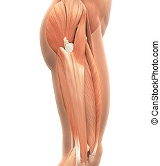 Upper Legs Muscles Anatomy isolated on white background. 3D...