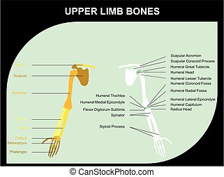 Upper Limb Bones Anatomy of Human Body for medical science...