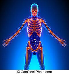 Upper Skeleton Bones Anatomy