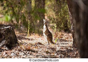 uppmärksam, känguru, in, den, vild