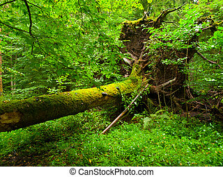 Uprooted tree fallen in the forest