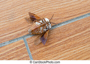 upside down bed bug with wings opened on the floor