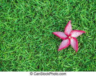 Red Plumeria Flower with Dew on Grassland