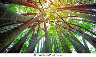 Upward tilting perspective of giant bamboo stalks, topped with healthy, green leaves, in a wilderness area near Kandy, Sri Lanka