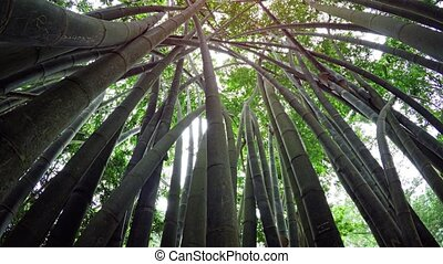Upward Tilting View from Inside Stand of Giant Bamboo Stalks...