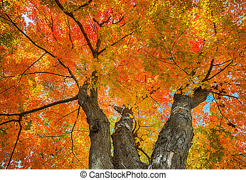 Upward view of a big maple tree with colorful autumn leaves
