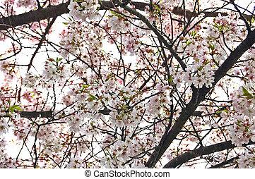 Upward View of Blooming Cherry Tree