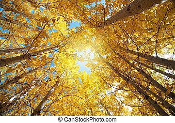 Fall Aspen Trees - Upward view of Fall Aspen Trees , Leh...