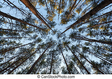 view of top of fir trees at forest