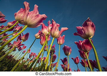 Upward view of tulips with long stalks