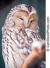 Ural Owl is sitting on branch