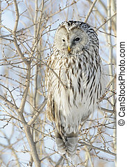 Ural Owl looking for next rodent meal