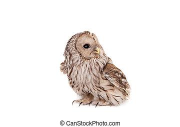 Ural Owl on the white background - Ural Owl, Strix uralensis...