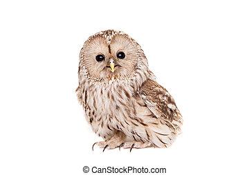 Ural Owl on the white background - Ural Owl, Strix...