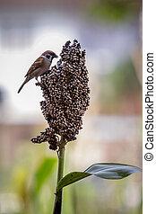 urasian tree sparrow and grains natural wild life