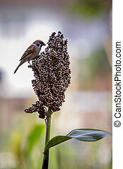 urasian tree sparrow and grains natural wild life
