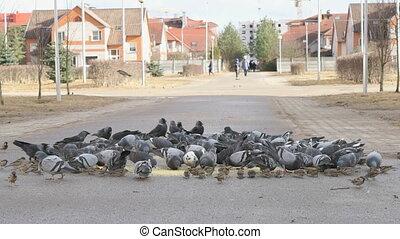urbain, manger, pigeons, parc, millet, troupeau