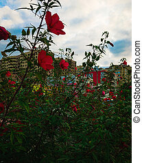 urban bush of the Hibiscus Red