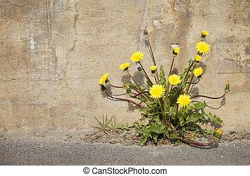 Urban Dandelions - Yellow dandelion flowers growing trough...