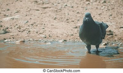 Urban pigeon in motion, bathed in puddle after rain. pigeons...