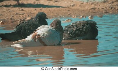 Urban pigeon in motion, bathed lifestyle in puddle after...