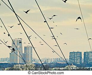 urbano, corvos