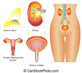 urinario, sistema