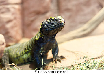Uromastyx is a genus of African and Asian agamid lizards -...