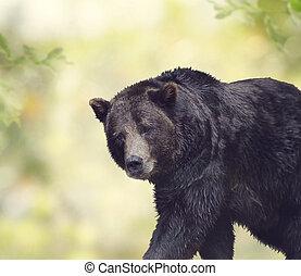 urso marrom, andar