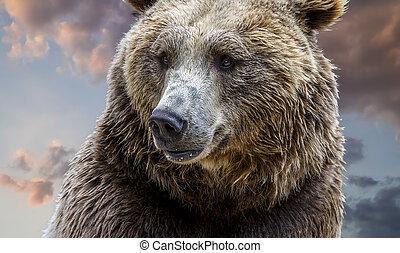 urso marrom, detalhe, de, a, majestoso, cabeça, com, seu, cabelo, e, intenso, olhar, ligado, nublado, fundo, em, pôr do sol