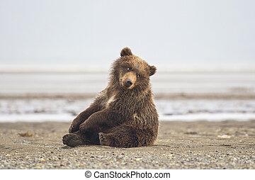 urso marrom, filhote