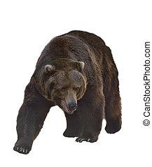 urso, pardo, aquarela, imagem