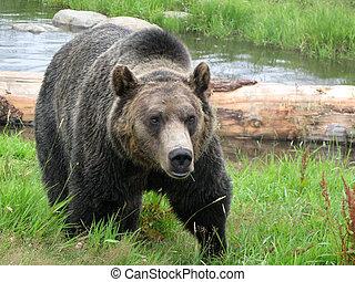 urso pardo, habitat, -, grouse, montanha, vancouver, bc,...