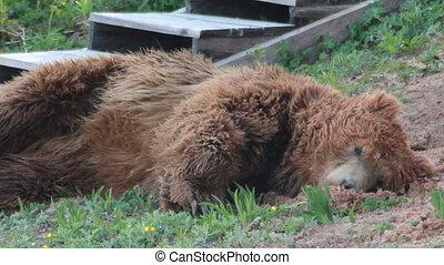 urso pardo, relaxante
