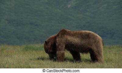 urso pardo, (ursus, arctos, horr.)