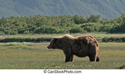 urso pardo, (ursus, arctos, horribil