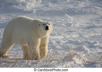 urso polar, andar, em, a, ártico
