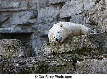 urso polar, dormir