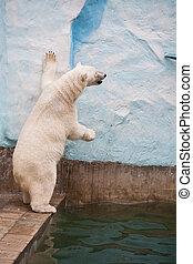 urso polar, jardim zoológico