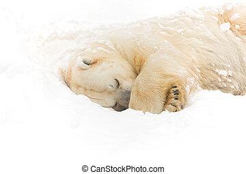 urso polar, ligado, a, neve