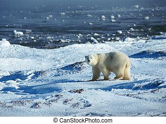 urso polar, ligado, neve