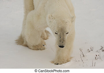 urso polar, stalking, presa