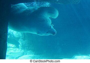 urso polar, submarinas