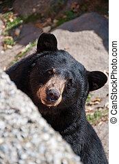 urso preto americano, carolina norte, eua