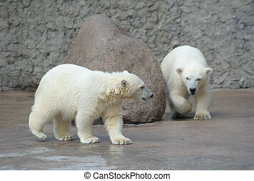 ursos, polar, pequeno, branca, dois