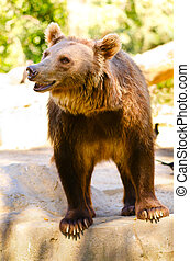 Ursus arctos at Madrid zoo, Spain