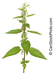 Urtica urens (Stinging nettle) plant isolated on white background